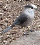 Banded Gray Jay - Algonquin Park 2