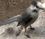 Banded Gray Jay - Algonquin Park 4