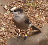 Banded Gray Jay - Algonquin Park 3